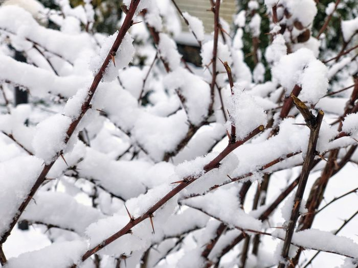 Snow Cold Temperature Winter White Color No People Nature Day Frozen Plant Branch Tree Close-up Outdoors