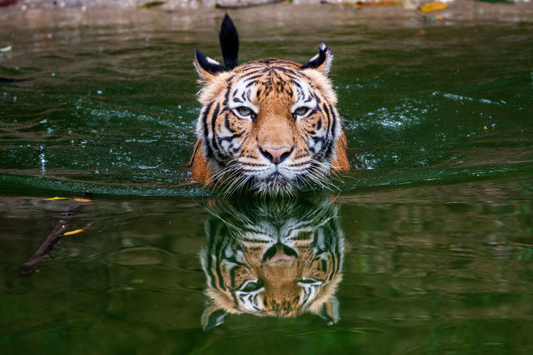 Portrait of tiger drinking water