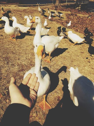 Geese Enjoying The Sun Feeding Ducks