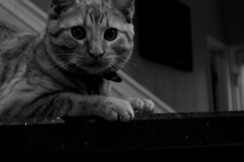 Up to no good. Domestic Cat One Animal Pets Animal Themes Domestic Animals Mammal Feline Indoors  Looking At Camera Whisker Portrait No People Close-up Sitting Day Cat Cats Blackandwhite Black&white