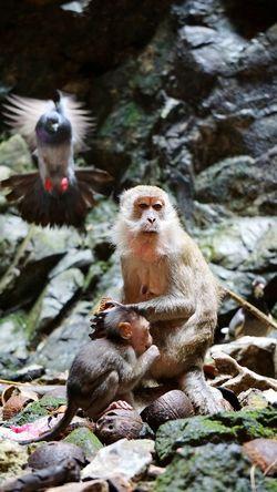 Asia makaka monkeys mom with child pigeon Wildlife Wildlife Photography Wild Animal Wildlifephotography An Eye For Travel Freezeframe Borneophoto_hunter Animals In The Wild Animal Themes Monkey Rock - Object Animal Wildlife No People Wildlife Nature Day