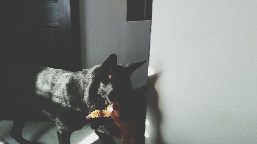 Horus Doglover Mascotas 🐶 PastorBelgaMallinois First Eyeem Photo