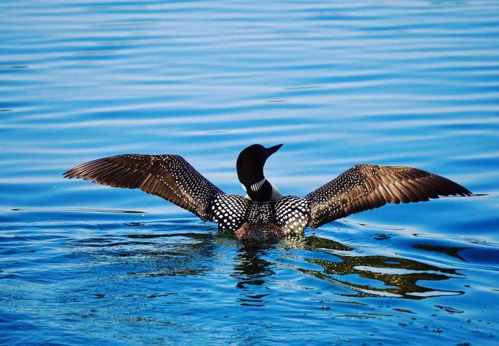 Minnesota Loon Animal Wildlife Lake Loon Minnesota Upnorth Close-up Wildlife Eyemphotography Photography Photographer EyeEm Nature Lover EyeEmNewHere Cabin