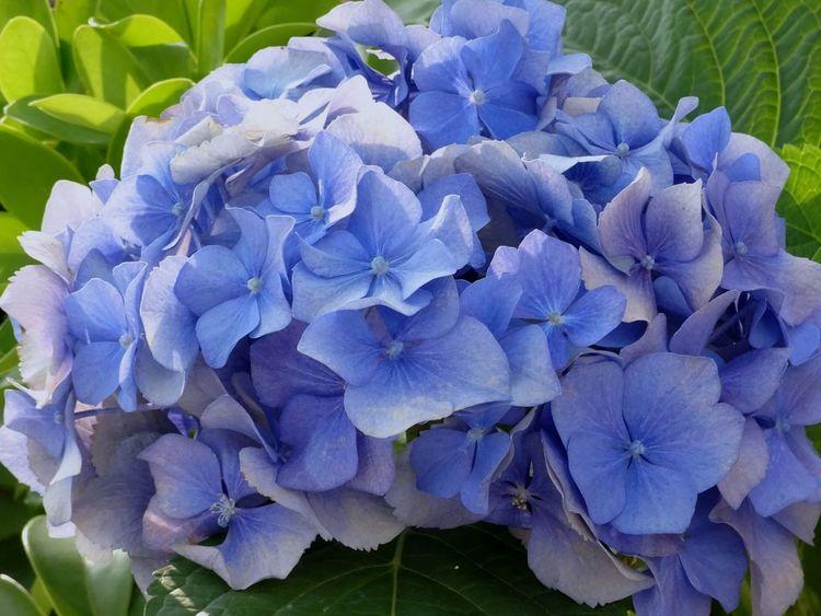 Beautiful blue flowers Flower Head Flower Petunia Iris - Plant Petal Hydrangea Purple Close-up Plant