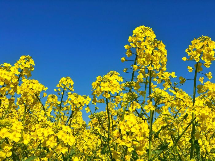 Field Colza Rapeseed Yellow Nature Sky Horizon Blue Flower Plant Beauty In Nature Flowering Plant Freshness Agriculture Oilseed Rape Growth Vibrant Color No People Landscape Springtime Crop  Rural Scene Clear Sky Day Outdoors