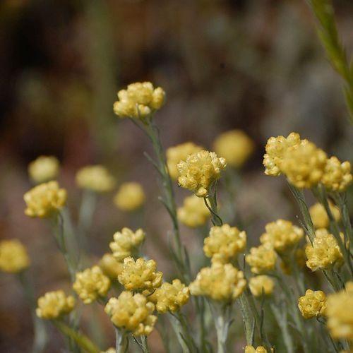 Semprevivaborda Helichrysumstoechas Flors Flowers nature natura herbesiflors macroworld macro_secrets nature nikond40