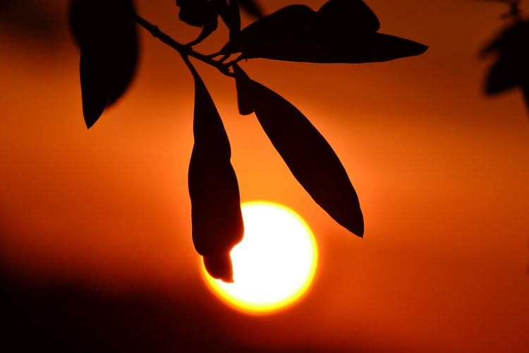 Beauty In Nature Close-up Day Growth Nature No People Outdoors Sky Solar Eclipse Sundown Sunset Sunset_collection Olive Tree Long Goodbye