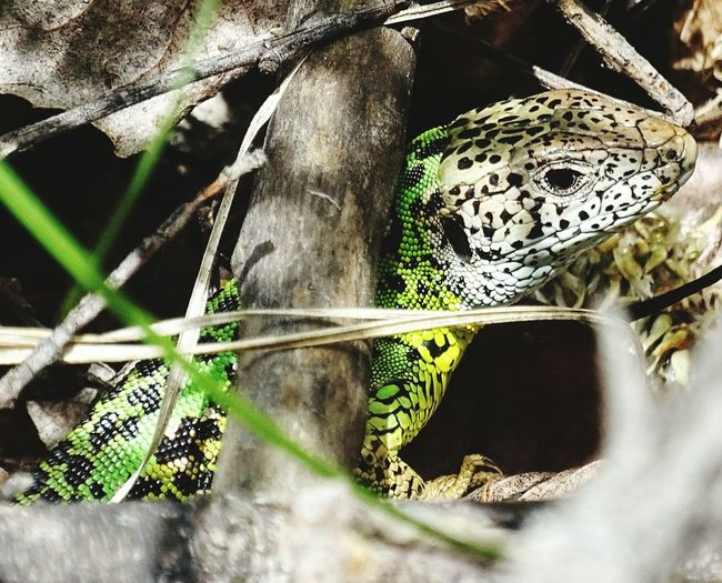 Close-up of ocellated lizard