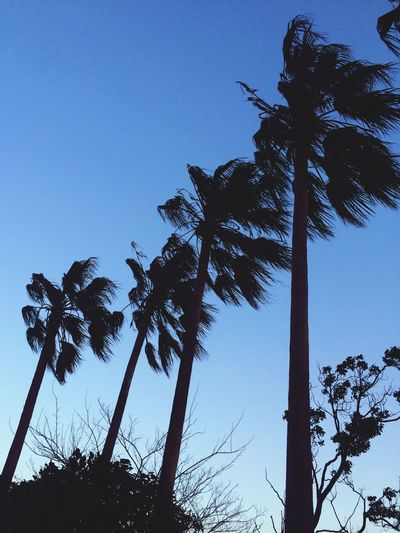 Palm Trees Sky Blue Windy Nature Photography
