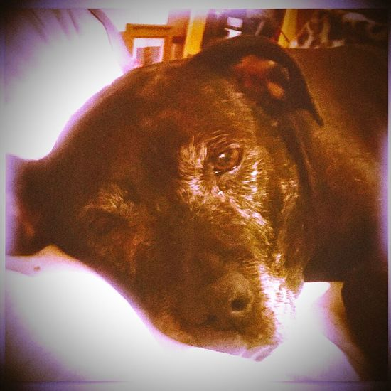 Ripbabygirl Restinpeace Brandy boo I love and Miss you soooo much Mydogsarecoolerthanyourkids Staffylovers Staffies There Softer Than You Think Dogs Of EyeEm BullTerrierOfInstagram my dog is now a Angel