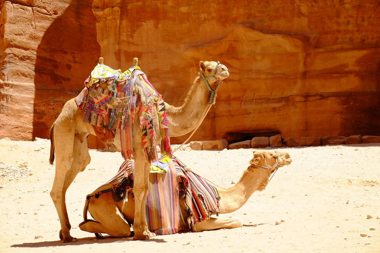 View of a camels waiting for tourists in petra