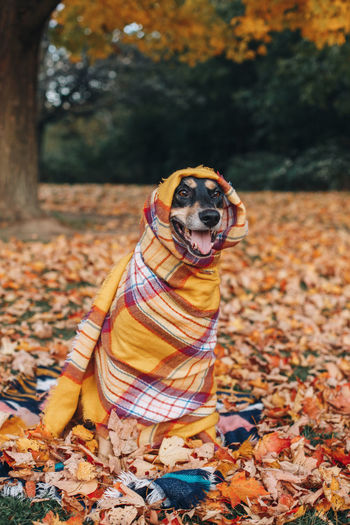 Dog wrapped in blanket while sitting on land during autumn
