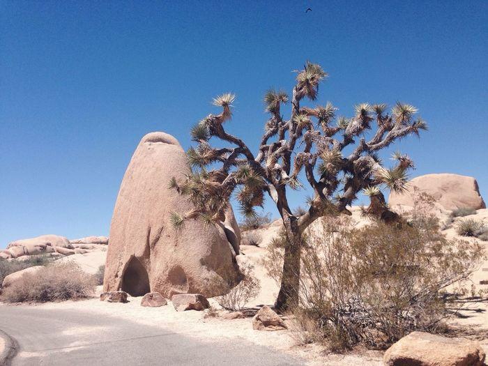 Joshua tree at desert against clear sky