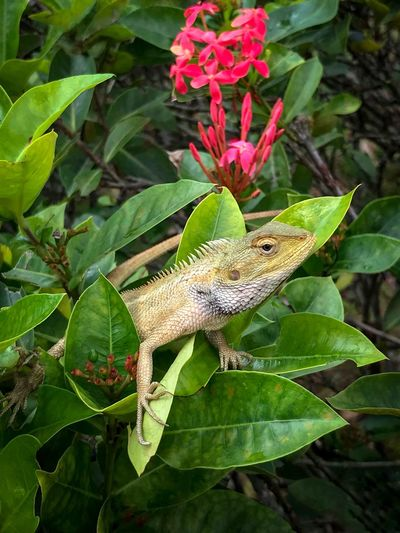Oriental Garden Lizard - just lazing around. Oriental Garden Lizard Calotes Versicolor Changeable Lizard Garden Lizard Lazing Around Garden Red Flower October 2018 Plant Part Leaf Green Color Plant Animal Animals In The Wild Animal Wildlife One Animal Animal Themes Reptile Vertebrate Lizard Close-up Nature Flowering Plant Day No People Outdoors