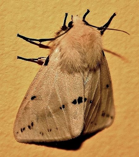 Buff Ermine Moth Insects  Moth Beautiful Nature Macro Beauty Macro Photography Macro Nature Macro Insects Macro_collection Macrophotography Macro Bugs Macro Week Macro World Ermine Moth Cream And Black Antena Wings Eyes Legs Insect Legs Fluffy Head Black Eyes