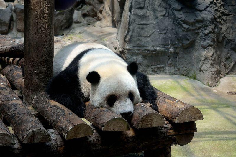 panda Bear Panda - Animal Mammal Animal China Beijing Zoo Animal In The Zoo Giant Panda Animal Themes Pandas♥ Panda Bear Pandashots PANDA ♡♡ Panda Sleeping Sleep