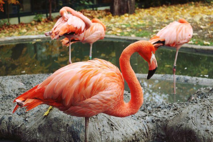 Flamingo birds at zoo