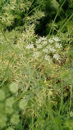 "We are farming ""Dill"" in our farm. Dill Plants 🌱 Plantation Herb Anethum Graveolens Apiaceae"