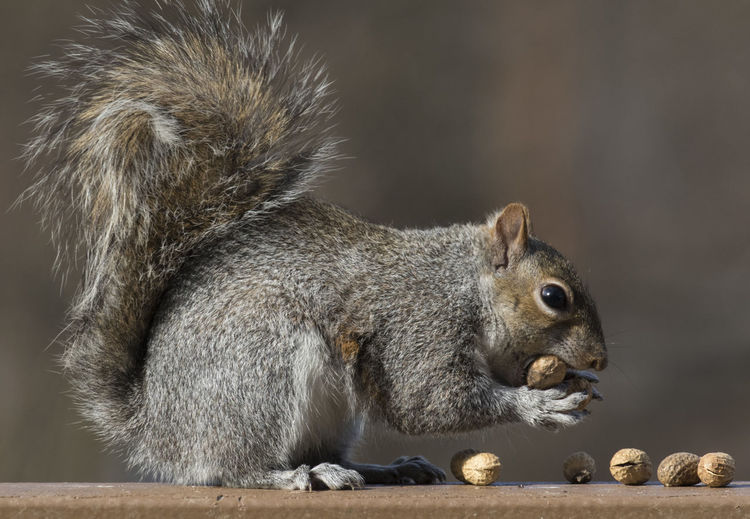 Scooping up dinner Peanuts Squirrel Animal Themes Animal Wildlife Animals In The Wild Close-up Day Eating Eating Nuts Food Gathering Nuts Handful Of Peanuts Mammal Nature No People Nut Gatherer One Animal Outdoors