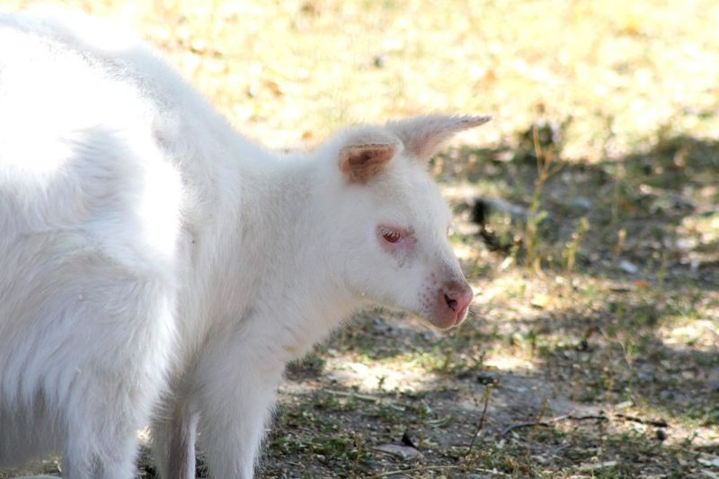 Close-up of a albino wallaby on a field