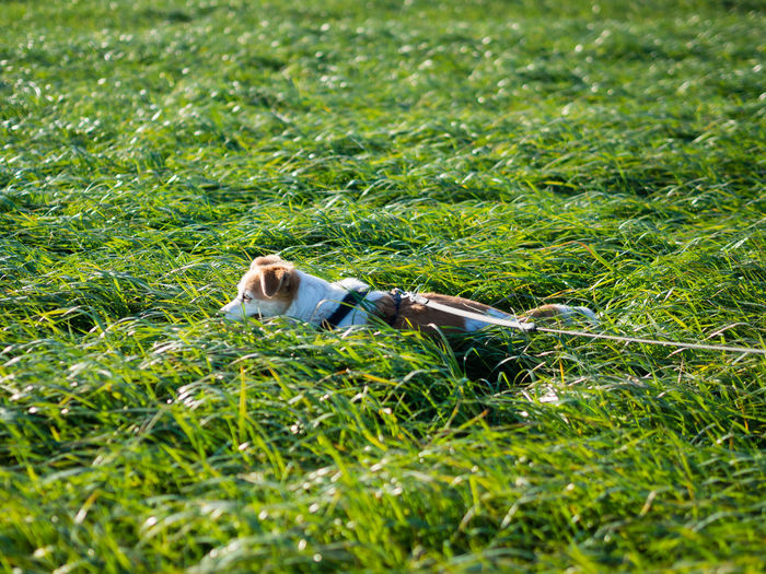 Grass Plant Green Color One Animal Land Field Nature Day Growth One Person Mammal Vertebrate Selective Focus Lying Down Dog Relaxation Canine Outdoors Pets Pet Dog Collar Rope Grass Hiding Nature Happiness Lush - Description Green Field Greenery