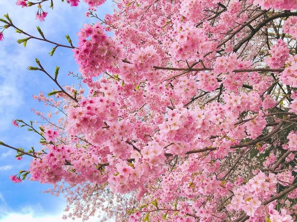 Cherry blossoms with blue sky Pink Color Plant Growth Flowering Plant Tree Flower Branch Low Angle View Beauty In Nature Sky Blossom Springtime Freshness EyeEmNewHere EyeEmNewHere A New Beginning A New Beginning