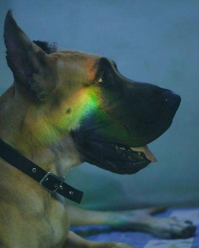 Pet Portraits Rainbow Greatdane Doggo One Animal Close-up Portrait Galaxy Beauty
