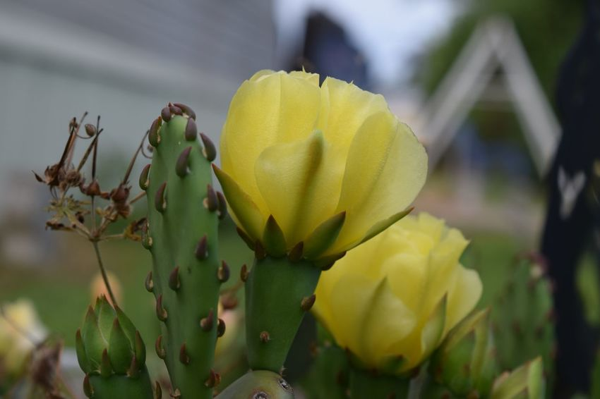 Beauty In Nature Blooming Cactus Flower Close-up Flower Head In Bloom Nature Plant Yellow Montgomery, Al.