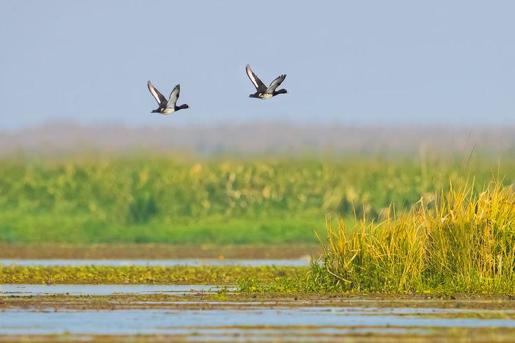 【神奇的高邮湖】发现凤头潜鸭