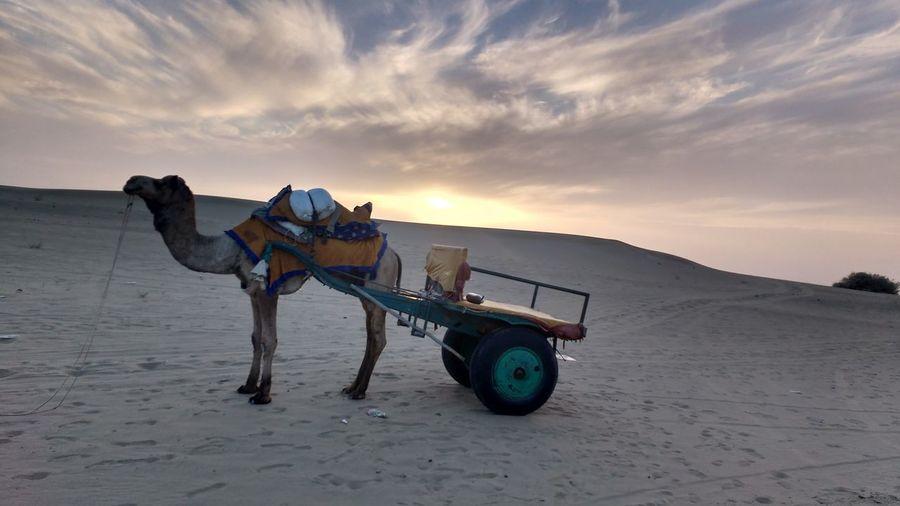 The king of the dessert in all its majesty. Jaisalmer Cloudporn Thar Desert Sanddunes Traveling Sunset