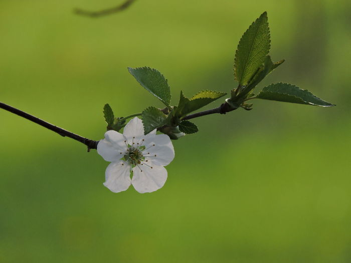 Cherry Blossoms Flower Flowering Plant Plant Growth Beauty In Nature Fragility Vulnerability  Freshness Close-up Petal Nature Inflorescence No People Day Flower Head Focus On Foreground Blossom Pollen White Color Green Color Springtime Outdoors Cherry Blossom Spring