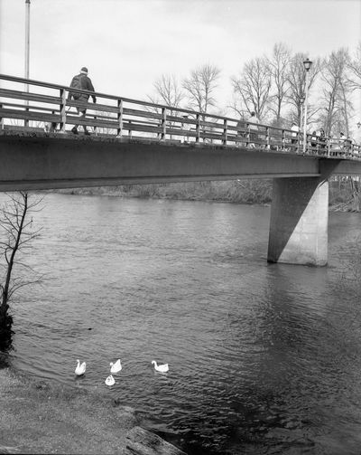 geese under the bridge. Geese River Bridge Film Photography Koni-omega Eugene Oregon Willamette River  Ilford HP5 Plus Water Bird City Bridge - Man Made Structure Tree River Swimming Winter Business Finance And Industry Sky