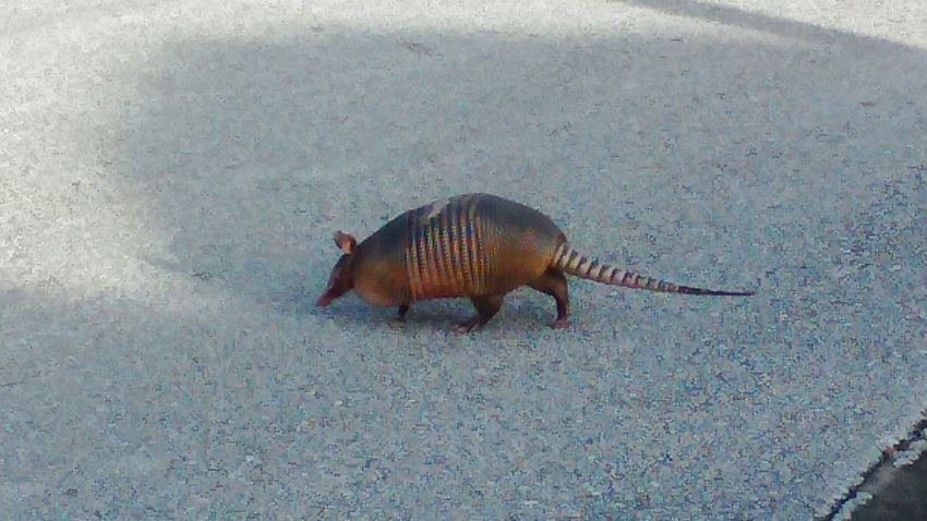 Out for a walk this morning and came across this little rascal Armadillo