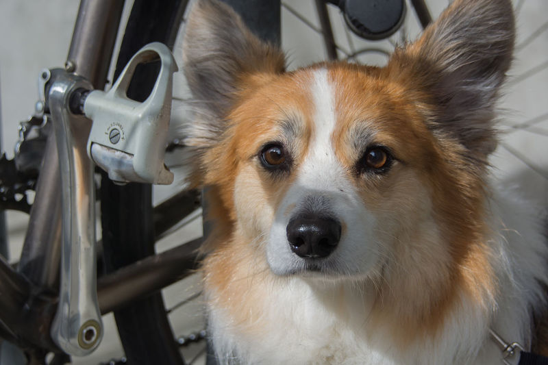 Animal Themes Close-up Day Dog Domestic Animals Looking At Camera Mammal No People One Animal Outdoors Pembroke Welsh Corgi Pets Pomeranian Portrait