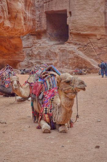 Monument Architecture Travel Photography Travel Destinations Petra, Jordan Jordan Camel Animal Themes Domestic Animals Day One Animal Mammal Outdoors Adventures In The City