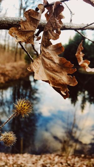 Leaf Autumn Dry Nature Change Focus On Foreground Day Outdoors Beauty In Nature No People Close-up Plant Fragility Tree Growth Maple Tranquility Branch Wilted Plant