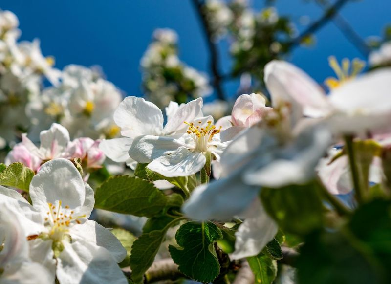 Farm Green Color Beauty In Nature Blooming Blossom Branch Close-up Day Flower Flower Head Fragility Freshness Growth Nature No People Outdoors Petal Plant Springtime Tree White Color