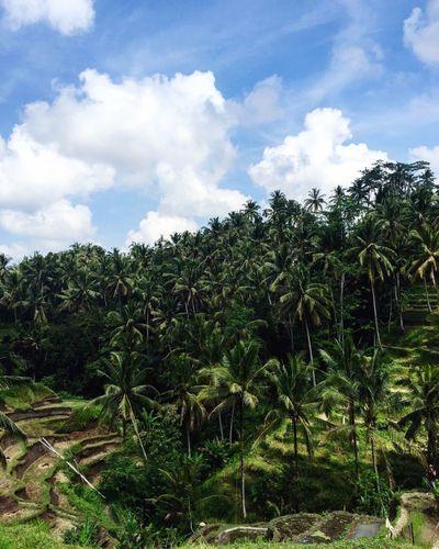 Got rice? Tegalalang Rice Terraces Rice Paddy Bali INDONESIA Travel Adventure EyeEm Nature Lover EyeEm Best Shots EyeEm Best Edits Hello World Appreciatewhatyouhave Enjoying Life Wayoflife