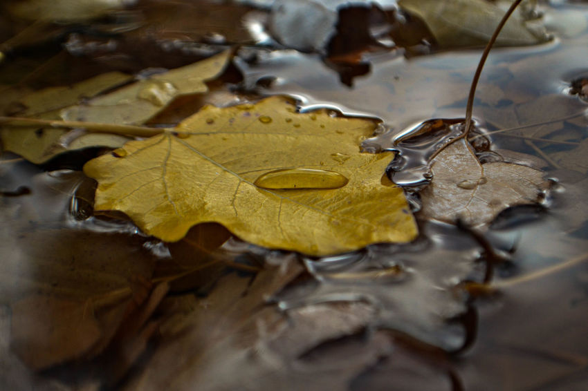 Yellow autumn leaf under the rain Natural Nature Rain Rainy Days Weather Yellow Flower Autumn Autumnal Background Beauty In Nature Change Close Up Close-up Day Daylight Drop Dry Fragility Leaf Maple Moody Nature No People Outdoors Water Yellow
