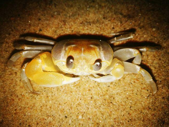 Doe_eyed_crab