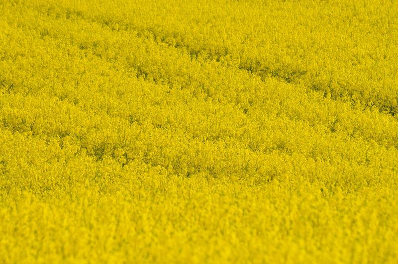 Full frame shot of oilseed rape field