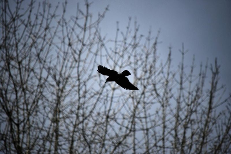Flying Low Angle View Bare Tree Sky Animal Themes Bird No People Animals In The Wild Nature Tree Day Outdoors Spread Wings Motion Flying High Flying Bird Mid-air Long Goodbye Animals In The Wild Outdoor Photography One Animal Crow Black Bird