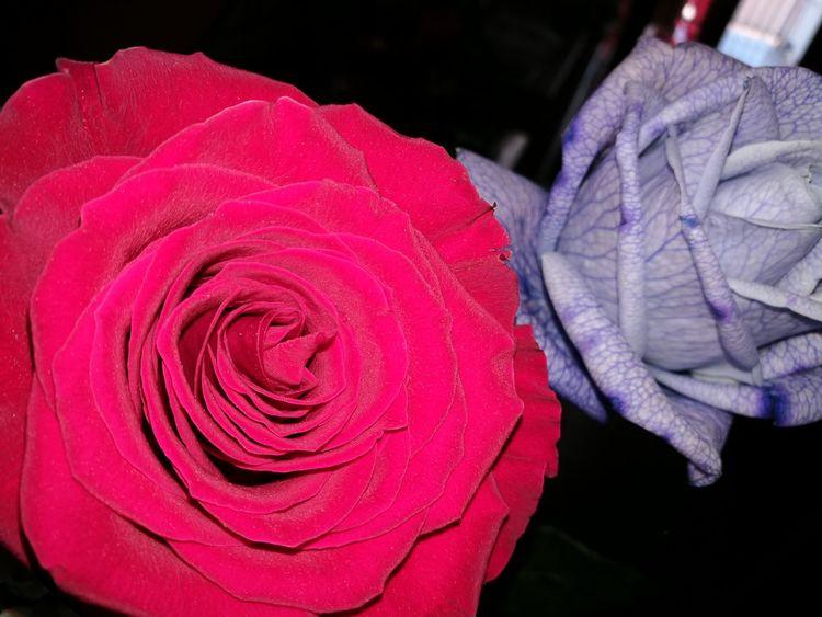 Rosa rosarossa Red Beauty In Nature Multi Colored Bird Rosas Bonitas❤️🌹 Rosas Rosa ♡ Rosarossa Rosa Rossa Rosas Rojas