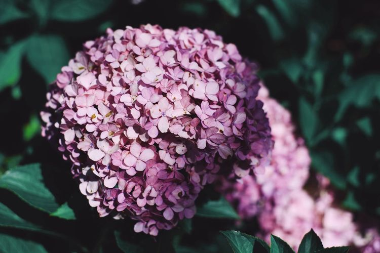 Flowering Plant Flower Plant Vulnerability  Fragility Growth Beauty In Nature Day Bunch Of Flowers Pink Color Inflorescence Freshness Flower Head Petal Close-up Focus On Foreground Nature Hydrangea Lilac No People