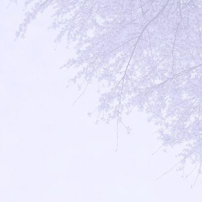 Blackandwhite Cherry Blossoms White Album さくら