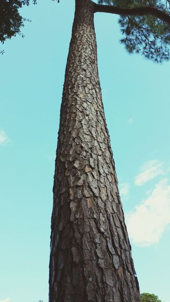 Good morning dear friends! Happy new week! Look up and away, not behind.. Low Angle View Tree Trunk Tree Blue Sky Nature Tall - High Tall Beauty In Nature Cloud - Sky Scenics EyeEm Nature Lover Eyemphotography Outdoors Popular Photos Pine Tree Bark
