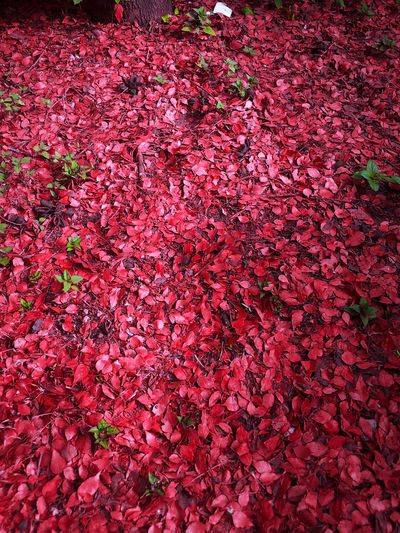 Pic of many Seasons🍃 🍁🥀 Red Backgrounds Flowering Plant Flower Plant Regeneration Beauty In Nature Growth Fragility Freshness Nature Abundance Pink Color Urban Nature Seasonal Seasonal Photography Field The Falling The Falling Ones THE FALLING LEAF Leaves Extension Of Soul Mother Nature Shades Of Red