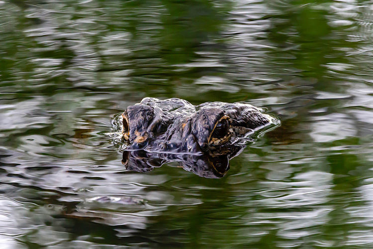 Water One Animal Animal Themes Animals In The Wild Animal Vertebrate Lake Animal Wildlife Swimming Waterfront Nature Day No People Reptile High Angle View Outdoors Bird Rippled Animal Head  Floating On Water