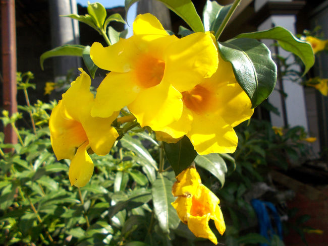 yellow allamanda flower on the tree Alamanda Allamanda Allamanda Flower Beauty Beauty In Nature Bloom Blooming Blossom Close-up Day Feminine  Flower Flower Head Focus On Foreground Fragility Freshness Nature No People Outdoors Petal Plant Tropical Flower Tropical Plants Yellow Yellow Allamanda