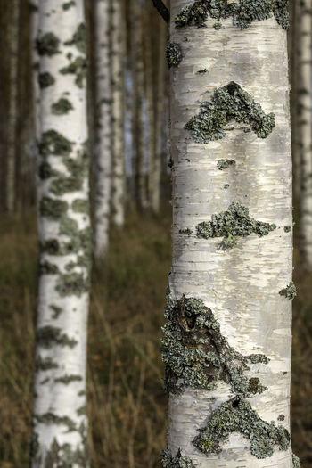 birch strains